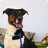 Boxer/Collie Mix Dog for adoption in Houston, Texas - Monster