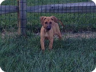 German Shepherd Dog Mix Puppy for adoption in Hockessin, Delaware - Rebecca
