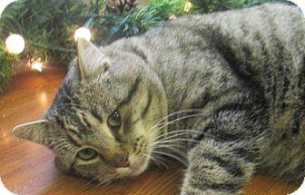 Domestic Shorthair Cat for adoption in Lloydminster, Alberta - Romeo