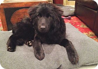 Retriever (Unknown Type)/Labrador Retriever Mix Dog for adoption in Houston, Texas - Lucy