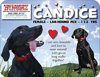 Labrador Retriever/Coonhound Mix Dog for adoption in Davenport, Iowa - Candice