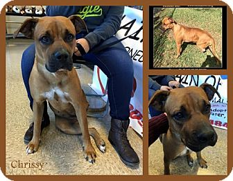 Boxer Mix Dog for adoption in hollywood, Florida - Chrissy
