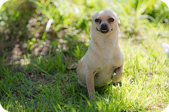 Chihuahua Mix Dog for adoption in Santa Monica, California - Dora