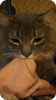 Domestic Mediumhair Cat for adoption in Acushnet, Massachusetts - Arkyn