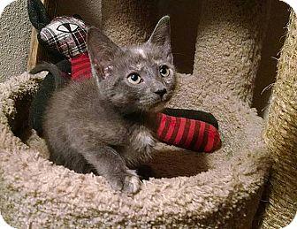 Domestic Shorthair Kitten for adoption in Tampa, Florida - Cordelia Naismith