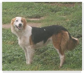 Border Collie Mix Dog for adoption in Lebanon, Connecticut - Princess