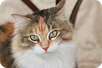 Maine Coon Cat for adoption in Buford, Georgia - Wendy
