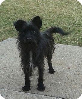 Terrier (Unknown Type, Small) Mix Dog for adoption in Manhattan, Kansas - Stitch