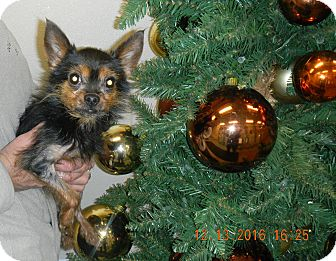 Yorkie, Yorkshire Terrier/Miniature Pinscher Mix Dog for adoption in Sandusky, Ohio - Minion