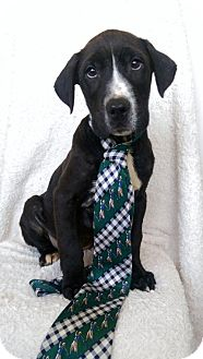 Labrador Retriever/American Bulldog Mix Puppy for adoption in Newark, Delaware - Stefan