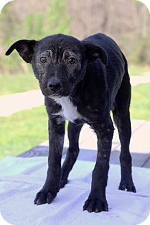 Labrador Retriever Mix Puppy for adoption in Waldorf, Maryland - Wade
