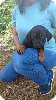 Labrador Retriever/Coonhound Mix Puppy for adoption in Matawan, New Jersey - Eclipse (adoption pending)