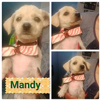 Mixed Breed (Small)/Terrier (Unknown Type, Small) Mix Dog for adoption in LAKEWOOD, California - mandy