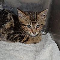 Adopt A Pet :: Adelaide - Cambridge, MD