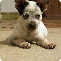 American Bulldog Mix Puppy for adoption in Austin, Texas - Lani