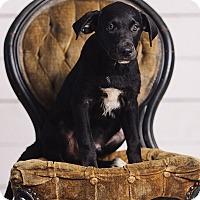 Adopt A Pet :: Draco Malfoy - Portland, OR