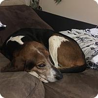 Adopt A Pet :: Cookie - Clarksville, TN