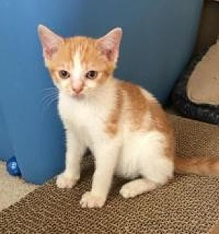Domestic Shorthair Cat for adoption in Smyrna, Georgia - Goldie