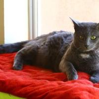 Adopt A Pet :: Blair - Rio Rancho, NM