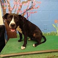 Adopt A Pet :: PIGLET - Waco, TX