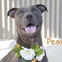 Adopt A Pet :: PEARLY - Sacramento, CA