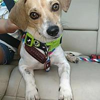 Adopt A Pet :: Rudy - Denton, TX