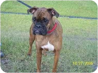 Boxer Dog for adoption in Port. St. Lucie, Florida - Kennedy