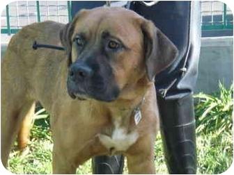 Bullmastiff/Mastiff Mix Dog for adoption in Burbank, California - BASHLEY