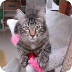Domestic Longhair Kitten for adoption in Phoenix, Arizona - Kirby