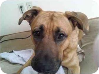 Bullmastiff/Shepherd (Unknown Type) Mix Dog for adoption in Mount Kisco, New York - Forrest-no fee