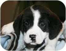 Labrador Retriever/Hound (Unknown Type) Mix Puppy for adoption in Portland, Maine - Boomer