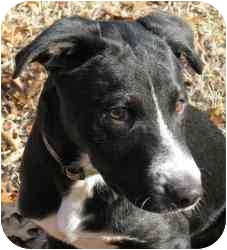 Labrador Retriever Mix Puppy for adoption in Richmond, Virginia - Backstrom