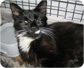 Domestic Mediumhair Cat for adoption in Gloucester, Massachusetts - Misty