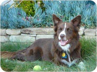 Border Collie Dog for adoption in San Pedro, California - COLA