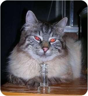 Siamese Cat for adoption in Yakima, Washington - Zeus
