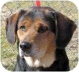 Beagle Mix Dog for adoption in Overland Park, Kansas - Bobby
