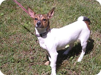 "Fox Terrier (Smooth) Mix Dog for adoption in New Castle, Pennsylvania - "" Poppy """