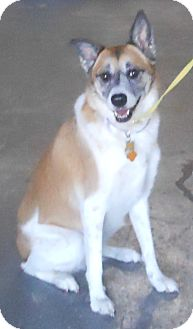 Collie Mix Dog for adoption in Belvidere, Illinois - Lexi