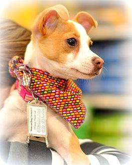 Italian Greyhound Mix Puppy for adoption in Sparta, New Jersey - Alura