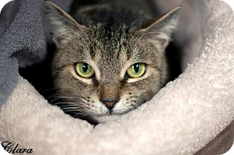 Domestic Shorthair Cat for adoption in Manahawkin, New Jersey - Clara