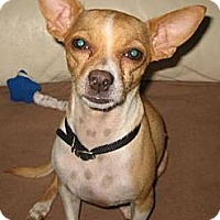 Adopt A Pet :: Andy - Chandler, AZ