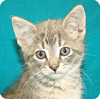 Domestic Shorthair Kitten for adoption in Jackson, Michigan - Squirt