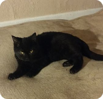 Domestic Shorthair Cat for adoption in Toledo, Ohio - Topsy
