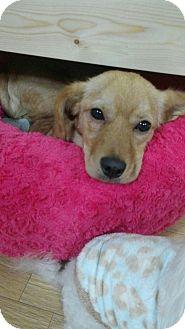 Shiba Inu Mix Dog for adoption in Litchfield Park, Arizona - Louie