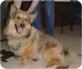 Collie/Cardigan Welsh Corgi Mix Dog for adoption in North Judson, Indiana - Dustin