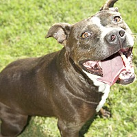 Staffordshire Bull Terrier Mix Dog for adoption in Byhalia, Mississippi - Gidget