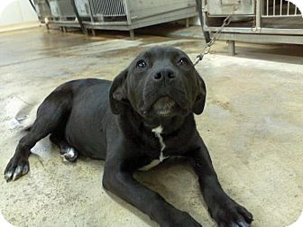 Labrador Retriever/Pit Bull Terrier Mix Puppy for adoption in Upper Sandusky, Ohio - ZIPPY
