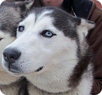 Siberian Husky Dog for adoption in Memphis, Tennessee - KIMI