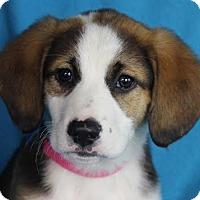 Adopt A Pet :: Aubrey - Minneapolis, MN