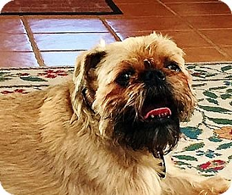 Brussels Griffon Dog for adoption in New Canaan, Connecticut - JOCK - Adopted